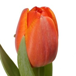 Тюльпаны на выбор
